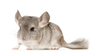 Young Chinchilla in front of white background - [url=http://www.istockphoto.com/file_search.php?action=file&userID=902692]Look at my portfolio, there are a lot of animal photos on a white background.[/url] [url=http://www.istockphoto.com/file_search.php?action=file&userID=902692][img]http://www.istockphoto.com/file_thumbview_approve.php?size=1&id=2234464[/img][/url] [url=http://www.istockphoto.com/file_search.php?action=file&userID=902692][img]http://www.istockphoto.com/file_thumbview_approve.php?size=1&id=2501409[/img][/url] [url=http://www.istockphoto.com/file_search.php?action=file&userID=902692][img]http://www.istockphoto.com/file_thumbview_approve.php?size=1&id=2500594[/img][/url] [url=http://www.istockphoto.com/file_search.php?action=file&userID=902692][img]http://www.istockphoto.com/file_thumbview_approve.php?size=1&id=2340421[/img][/url] [url=http://www.istockphoto.com/file_search.php?action=file&userID=902692][img]http://www.istockphoto.com/file_thumbview_approve.php?size=1&id=2396641[/img][/url] [url=http://www.istockphoto.com/file_search.php?action=file&userID=902692][img]http://www.istockphoto.com/file_thumbview_approve.php?size=1&id=2183014[/img][/url] [url=http://www.istockphoto.com/file_search.php?action=file&userID=902692][img]http://www.istockphoto.com/file_thumbview_approve.php?size=1&id=2469239[/img][/url] [url=http://www.istockphoto.com/file_search.php?action=file&userID=902692][img]http://www.istockphoto.com/file_thumbview_approve.php?size=1&id=2468468[/img][/url] [url=http://www.istockphoto.com/file_search.php?action=file&userID=902692][img]http://www.istockphoto.com/file_thumbview_approve.php?size=1&id=2265853[/img][/url]