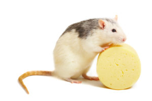 white mouse and cheese (isolated on a white background) need more - see other pictures from this set)
